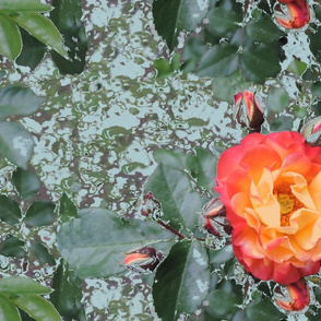 Schoene Rose fuer Eastfork 9