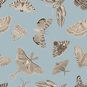 Moths blue-gray