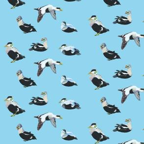 Eider_ducks_%5bsky_blue%5d