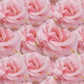 Roses, Light Pink
