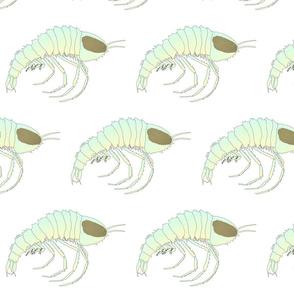 Cystisoma Hyperiid Plankton