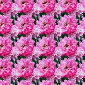 Pink roses in rain