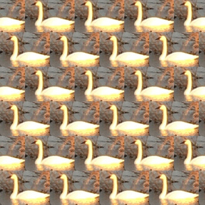 Golden Swan at Horicon -satin lining
