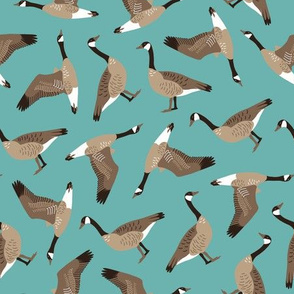 Canada Geese tossed on teal