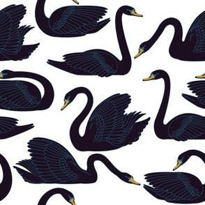 Black Swans Swimming