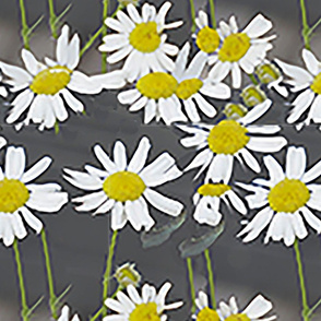 kukkis 555