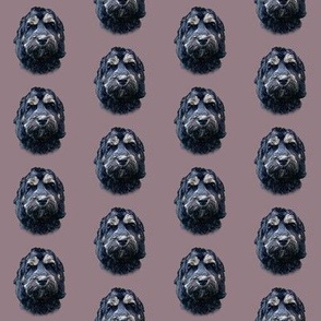 Phantom Cockapoo Dog