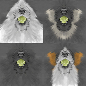 Nosey wirehaired Flyball Dog faces black white tri
