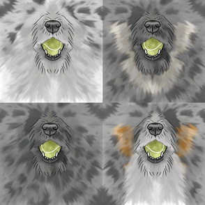 Nosey wirehaired Flyball Dog faces blue merle
