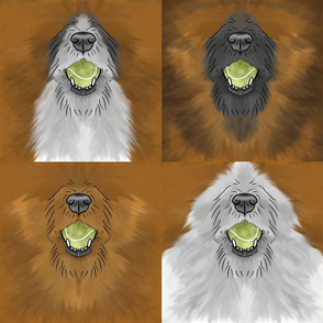 Nosey wirehaired Flyball Dog faces red sable