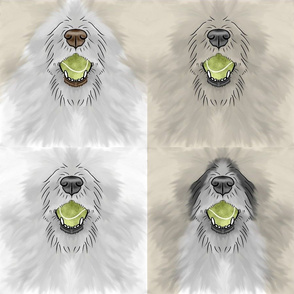 Nosey wirehaired Flyball Dog faces cream and white