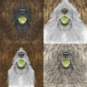 Nosey wirehaired Flyball Dog faces brindle