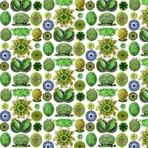 Ernst Haeckel Ascidiae_aw_greens_small