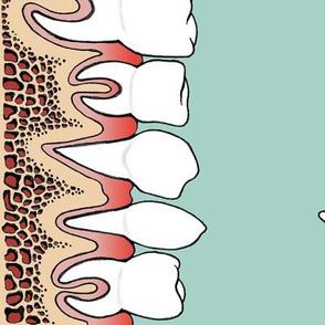 Teeth in gums border