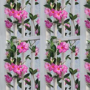 Medium Size of Pink Mandevilla Plus Sky Tie Dye