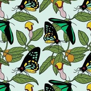 Australian Richmond Birdwing Butterfly