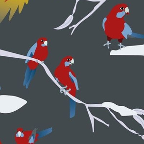 Australian Crimson Rosellas winter grey
