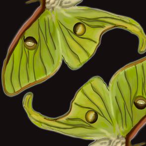 Giant Luna Moth