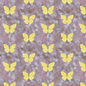 cloudless sulphur butterflies on lavender bokeh