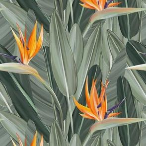 Elegant Strelitzia or Bird of Paradise