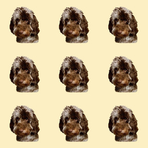 Brown Merle Doodle Dog
