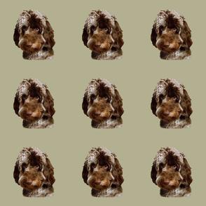 Merle Cockapoo / Doodle Dog