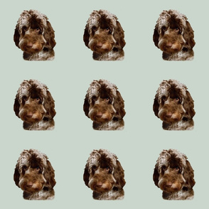 Brown & White Doodle Dog