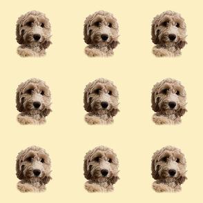 Golden Apricot Doodle Dog