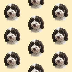 Brown & White Cockapoo / Doodle