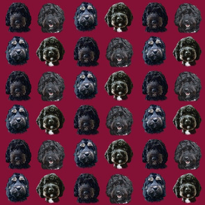 Black Cockapoo & Doodle Dogs