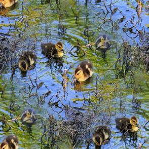 A Bunch Of Baby Ducks