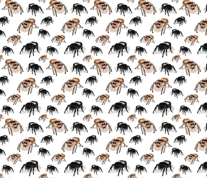 Regal Jumping Spider Phidippus Regius on White