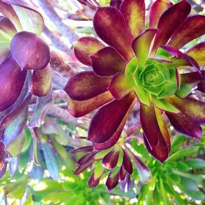 Florets Aeonium,  Mega Flora