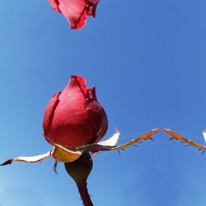 Large Rosebud