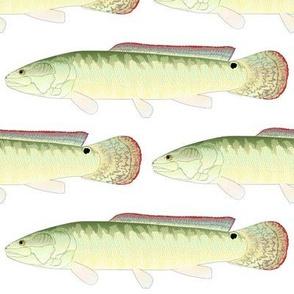 Bowfin Amia Calva fish