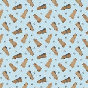 Tiny Australian Terriers - blue