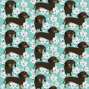 Dachshund Dog with cherry blossoms