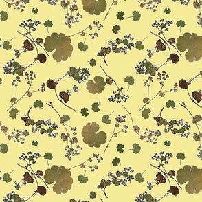 Alchemilla grune Zitrone