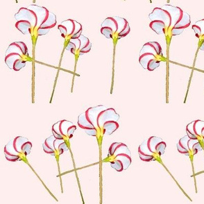 Red White Candy Cane Flowers On Pink