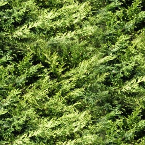 11394002 © leylandii hedge