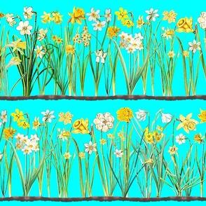 Aqua daffodil border