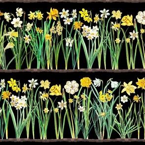 Black daffodil border