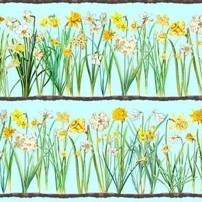 Ice blue daffodil border