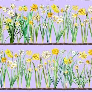 Lavender daffodil border