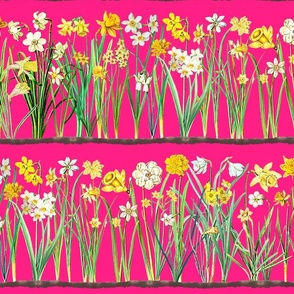 Raspberry daffodil border