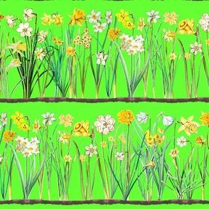 Spring green daffodil border