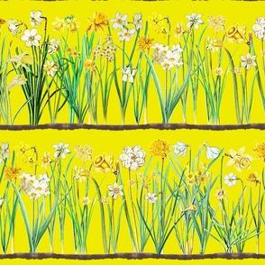 Sun yellow daffodil border