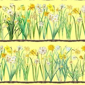 Vanilla daffodil border