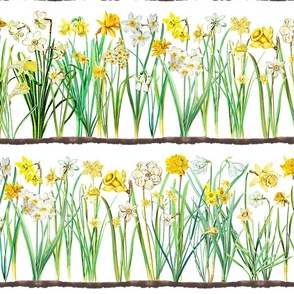 White daffodil border