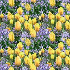 Tulip Garden in my neighborhood